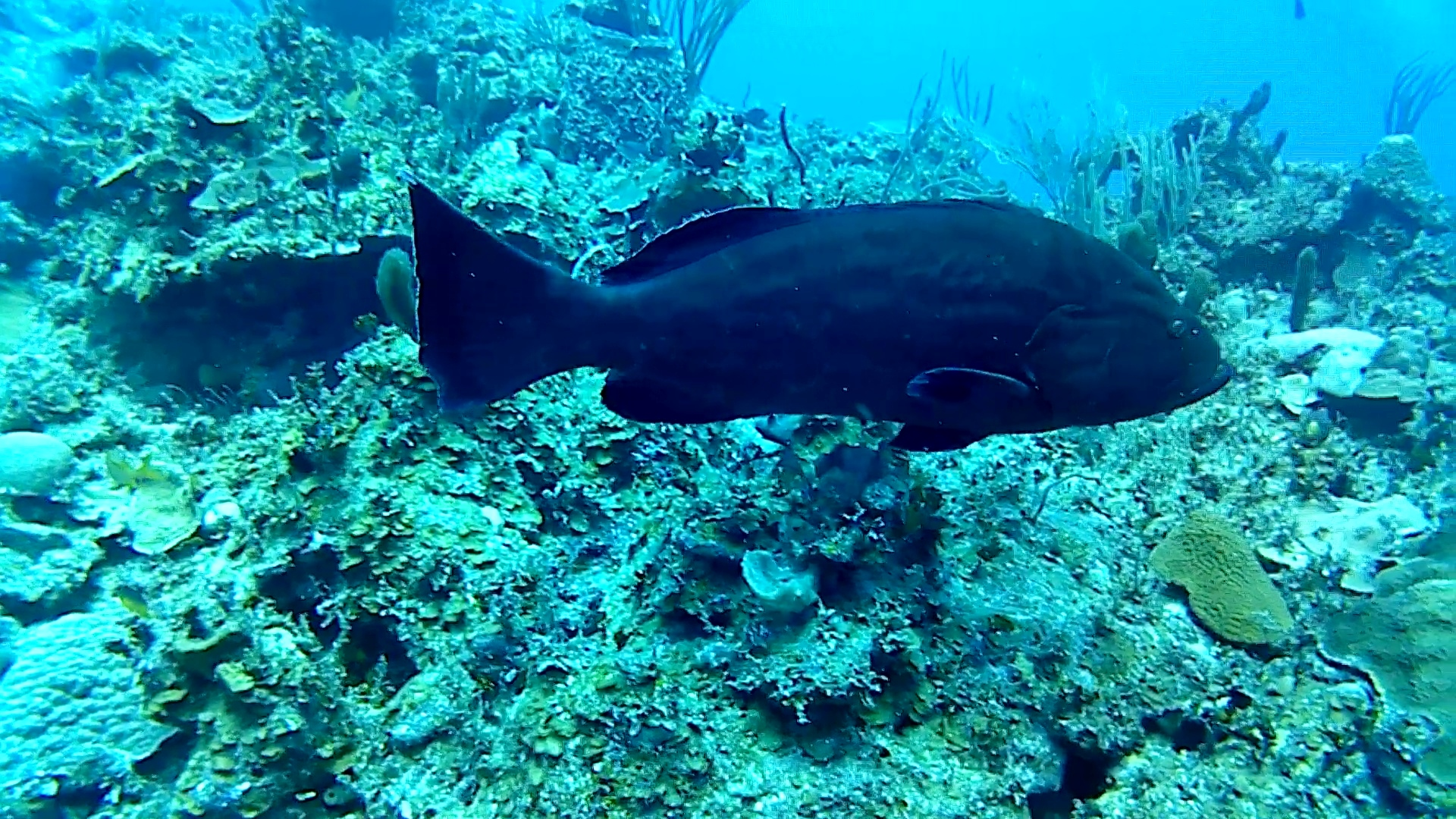 la cernia nera – the black grouper – intotheblue.it – vlcsnap-2019-02-25-16h35m21s283