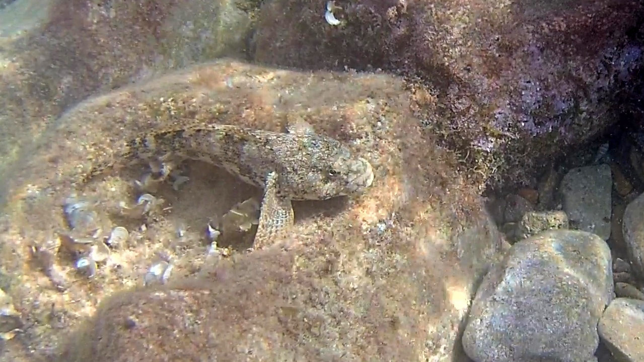 Ghiozzo Testone - The Giant Goby - Gobius Cobitis - intotheblue.it