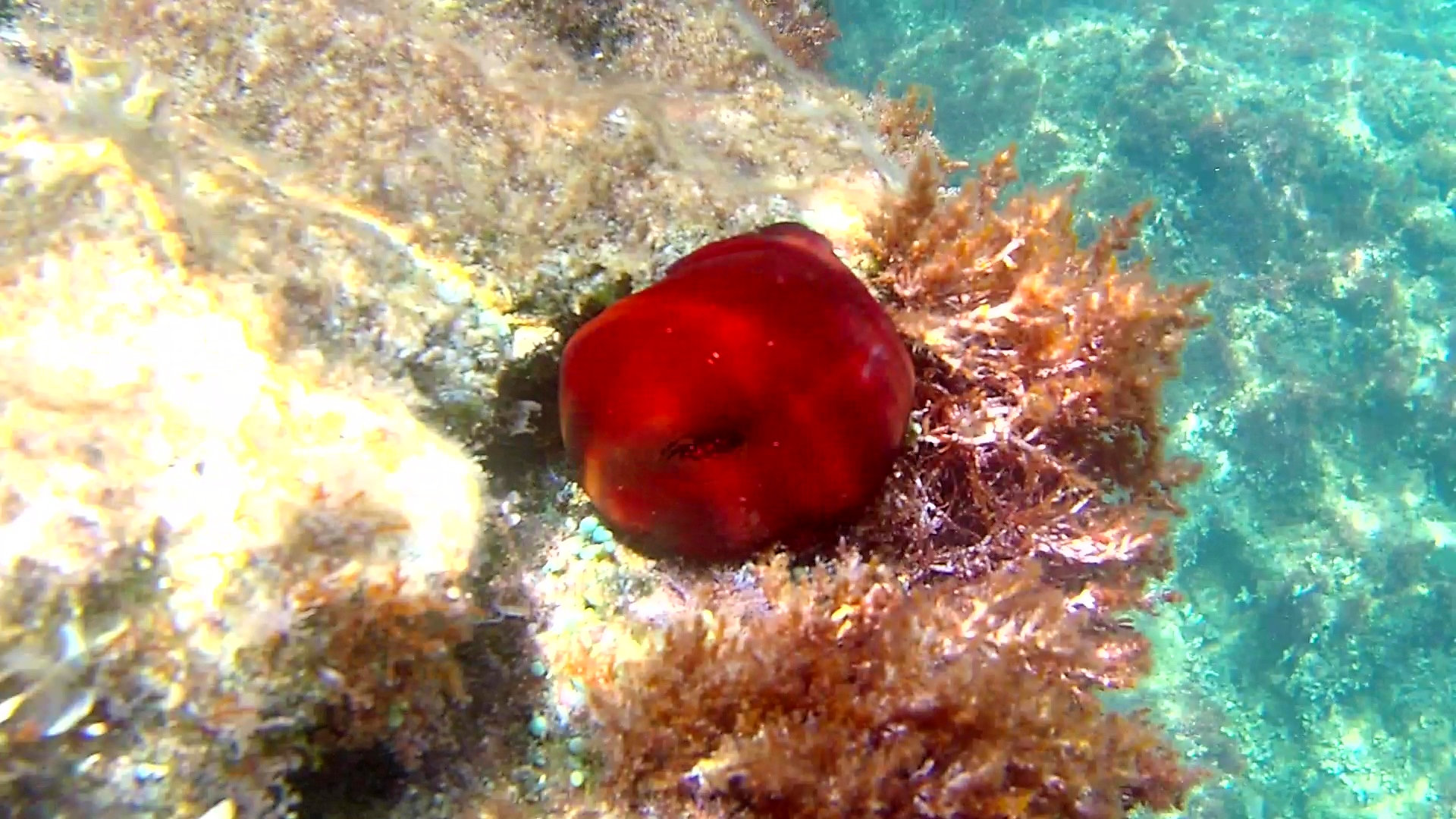 Pomodoro di mare – The Beadlet Anemone – Actinia equina – intotheblue.it – vlcsnap-2019-05-13-14h11m59s786