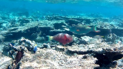 Pesce Pappagallo – Parrotfishes – intotheblue.it-2018-06-07-15h32m18s018-1024×582
