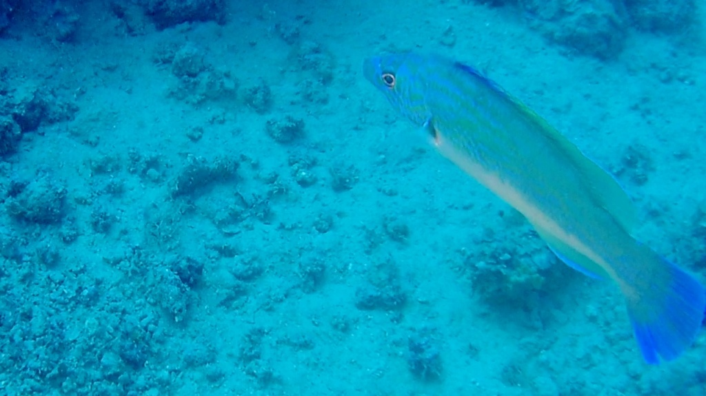 the male of cuckoo wrasse - labrus mixtus - intotheblue.it