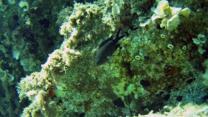 Damselfish - Chromis chromis