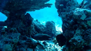 Giant Moray of Maldives