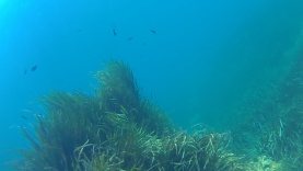 Posidonia oceanica – intotheblue.it FILE0010_115