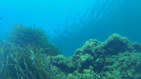 Posidonia oceanica – intotheblue.it FILE0010_437