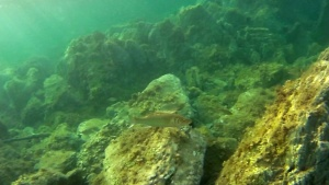 The hunting of Seabass Dicentrarchus labrax