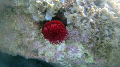 Il Pomodoro di mare – The beadlet anemone – Actinia equina – intotheblue.it – vlcsnap-2020-01-18-15h51m33s397