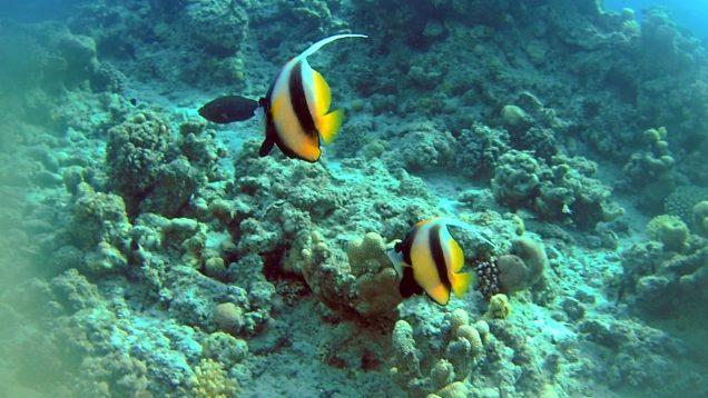 Il Pesce Farfalla Bandiera del Mar Rosso – The Red Sea Bannerfish – Heniochus intermedius – intotheblue.it-2020-02-01-20h48m21s508