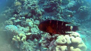 Il Tordo a gola rossa – The Red-breasted Wrasse – Cheilinus fasciatus- intotheblue.it-2020-01-31-17h30m05s584