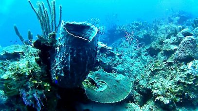 La spugna Barile – The giant Barrel sponge – Xestospongia muta – intotheblue.it-2020-01-11-16h13m02s519