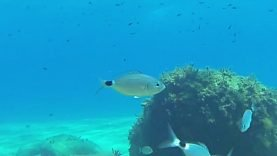 Oblada-melanura-Occhiata-Saddled-seabream-2020-06-14-17h58m11s856