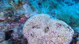 Cladocora-caespitosa-Madrepora-a-Cuscino-cushion-coral-2020-07-21-08h38m27s707