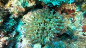 anemone grosso-2020-06-29-15h29m38s689