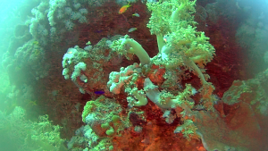 Yellow Soft coral - Dendronephthya hemprichi