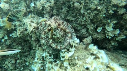 Polpo Mimetismo – Octopus Mimicry – intotheblue.it-2021-08-01-07h54m00s613